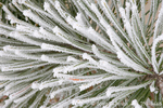 UTAH. USA. Detail, hoar frost on pine needles during cold, foggy weather. Cache Valley.