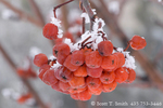 UTAH. USA. Detail, hoar frost on berries of ash tree during cold, foggy weather. Cache Valley.