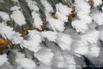 UTAH. USA. Detail, hoar frost (frost feathers) on spruce needles during cold, foggy weather. Cache Valley.