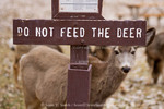 CAPITOL REEF NATIONAL PARK, UTAH. USA. Mule deer doe (Odocoileus hemionus) &