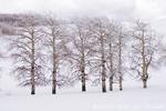 UTAH. USA. Rime ice on aspen trees (Populus tremuloides). Boulder Mountain in winter. Dixie National Forest.