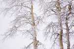 UTAH. USA. Rime ice on aspen trees (Populus tremuloides). Boulder Mountain in winter. Dixie National Forest.