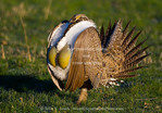 UTAH. USA. Male sage grouse (Centrocercus urophasianus) struts at lek in mating display. Male inflates yellow gular air sacs during display. Wasatch Mountains.