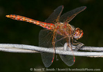 UTAH. USA. Male variegated meadowhawk dragonfly (Sympetrum corruptum) on barbed wire.
