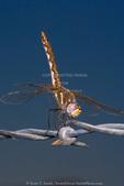 UTAH. USA. Female variegated meadowhawk dragonfly (Sympetrum corruptum) on barbed wire.
