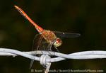 UTAH. USA. Male saffron-winged meadowhawk dragonfly (Sympetrum costiferum) on barbed wire.
