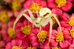 Goldenrod spider (Misumena vatia) on yarrow flowers. UTAH. USA.