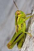 Young grasshopper (Melanoplus spp.). Utah. USA.