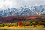 UTAH. USA. Autumn snow on Wellsville Mountains above maple-covered foothills & bigtooth maple tree & abandoned apple trees. Cache Valley.