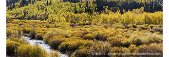 UTAH. USA. Yellow willows (Salix luteum), aspen trees (Populus tremuloides), & conifers along Logan River in autumn. Logan Canyon. Bear River Range. Wasatch Mountains. Wasatch-Cache National Forest.