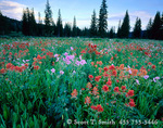 UTAH. USA. Paintbrush & geraniums in meadow near Tony Grove. Bear River Range. Wasatch-Cache National Forest.