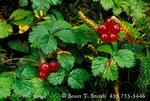 DENALI STATE PARK, ALASKA. USA. Detail, forest floor & Nangoon berry (Rubus arcticus).