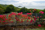 """MARTINIQUE. French Antilles. West Indies. Flowering bougainvillea at site of Chateau Dubuc on the Caravelle Peninsula. The """"Dubuc Castle"""" was first noted on maps of Martinique in 1773. Ostensibly a site of sugar production, the real business at the chateau was the smuggling and transport of slaves."""