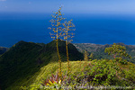 MARTINIQUE. French Antilles. West Indies. Flower stalks of agave grow on steep ridge high on Mt. Pelée. Caribbean Sea in distance.