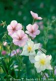 UTAH. USA. Geranium (Geranium richardsonii) & columbine (Aquilegia caerulea). Bear River Range. Wasatch-Cache National Forest.