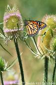 UTAH. USA. Monarch butterfly (Danaus plexippus) on teasel (Dipsacus fullonum) near the Bear River. Cache Valley.