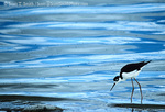 UTAH. USA. Black-necked stilt (Himantopus mexicanus) feeding on brine files (black dots floating on water) in shallows of Great Salt Lake. Great Basin.