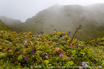 MARTINIQUE. French Antilles. West Indies. Low-growing lush tropical vegetation covers volcanic rock on rim of summit crater on Mt. Pelée,