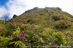 MARTINIQUE. French Antilles. West Indies. Low-growing, lush vegetation covers summit of Mt. Pelée.