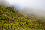MARTINIQUE. French Antilles. West Indies. Fog blows across sopes near summit of Mt. Pelée. Low-growing lush tropical vegetation covers volcanic rock from 1926 eruption.