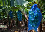 MARTINIQUE. French Antilles. West Indies. Banana plantation near Macouba. Bananas are covered with plastic bags as the grow to protect they from insects & animals.
