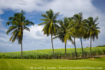 MARTINIQUE. French Antilles. West Indies. St. Pierre. Royal palms & sugarcane field. Grounds of Depaz rum distillery.