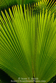 MARTINIQUE. French Antilles. West Indies. Palm frond at Jardin de Balata (Balata Garden). Begun in 1982 on land owned by his grandmother, Balata Garden was created by Jean-Philippe Thoze & features over 3000 tropical species from around the world. The Garden opened to the public in 1986.