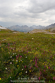 BRIDGER WILDERNESS, WYOMING. USA. Wildflowers at Bald Mountain Pass below stormy skies. Wind River Range. Bridger-Teton National Forest. Along Continental Divide National Scenic Trail (locally called Fremont Trail).