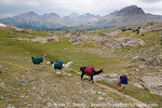 BRIDGER WILDERNESS, WYOMING. USA. Woman with pack llamas at Bald Mountain Pass. Wind River Range. Bridger-Teton National Forest. Along Continental Divide National Scenic Trail (locally called Fremont Trail).
