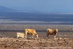 NEVADA. USA. Cattle on over-grazed public rangeland. Tule Desert. BLM public land.