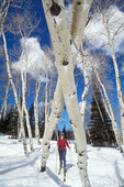 UTAH. USA. Backcountry skier & aspen trees (Populus tremuloides). Boulder Mountain. Dixie National Forest.