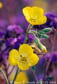 DEATH VALLEY NATIONAL PARK, CALIFORNIA. USA. Golden evening primrose (Camissonia brevipes) & notch-leaf phacelia (Phacelia crenulata).