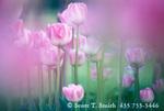 UTAH. USA. Tulips. Cache Valley.