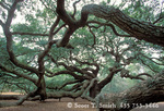 CHARLESTON, SOUTH CAROLINA. Angel Oak. Very large (25 feet in circumference) live oak (Quercus virginiana) near Charleston. Angel Oak Park (owned by City of Charleston).