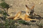 NEVADA. USA. Kit fox pup (Vulpes macrotis) near entrance to den. Snake Valley near Nevada/Utah border. Great Basin.