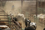 FALLON, NEVADA. USA. Cowboy sorts cattle into corrals outside the auction ring at Gallagher Livestock.