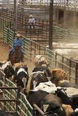 FALLON, NEVADA. USA. Cowboys sort cattle into corrals outside the auction ring at Gallagher Livestock.