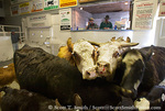 FALLON, NEVADA. USA. Cattle (one bleeding) in auction ring at Gallagher Livestock.