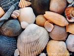 EDISTO BEACH STATE PARK, SOUTH CAROLINA. USA. Shells collected on Edisto Beach. Atlantic Coast.