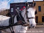 CHARLESTON, SOUTH CAROLINA. USA. One of Charleston's many carriage-pulling horses.