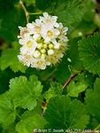 UTAH. USA. Detail, blossom & leaves of mountain ninebark (Physocarpus monogynus). Bear River Range. Wasatch-Cache National Forest.