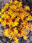 UTAH. USA. Detail, stonecrop in bloom (Sedum debile). Bear River Range. Wasatch-Cache National Forest.