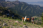 MT. NAOMI WILDERNESS, UTAH. USA. Woman & pack llamas on trail above Smithfield Canyon. Cache Valley in distance. Bear River Range. Wasatch-Cache National Forest. MR.