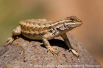 CAPITOL REEF NATIONAL PARK, UTAH. USA. Northern Plateau lizard (Sceloporus tristichus) on basalt boulder.