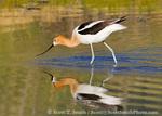 Great Salt Lake Shorelands Preserve, Utah. USA. America avocet (Recurvirostrata americana) feeding in pond. Nature Conservancy preserve at wetlands along shore of Great Salt Lake.