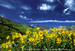 UTAH. USA. Mule's ears in bloom in Albion Basin. Little Cottonwood Canyon near Alta. Wasatch Mountains. Wasatch-Cache National Forest.