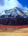 UTAH. USA. Autumn snow on Wellsville Mountains above field & groves of bigtooth maple trees (Acer gradidentatum).