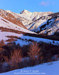 UTAH. USA. Maple trees in deep snow in Cherry Creek Canyon in winter. Cherry Peak in distance. Bear River Range. Wasatch-Cache National Forest.