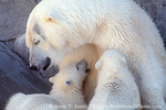 UTAH. USA. Mother polar bear (Ursus maritimus) nursing twins. Hogle Zoo, Salt Lake City. CAPTIVE ANIMALS.