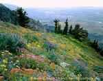 UTAH. USA. Wildflowers near summit of Willard Peak. City of Ogden & Great Salt Lake in distance. Wasatch Mountains. Wasatch-Cache National Forest.